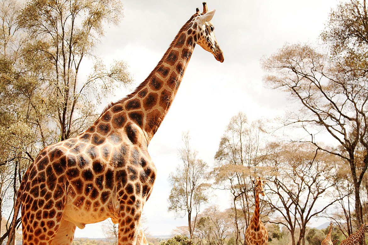 Nairobi national park – Giraffe Center – Karen Blixen